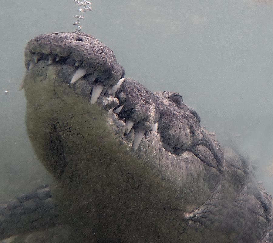 900px croc murky water head