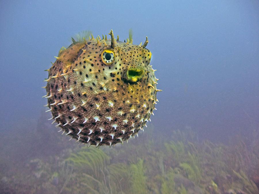 Balloonfishdiodonholocanthus_zps22c253da