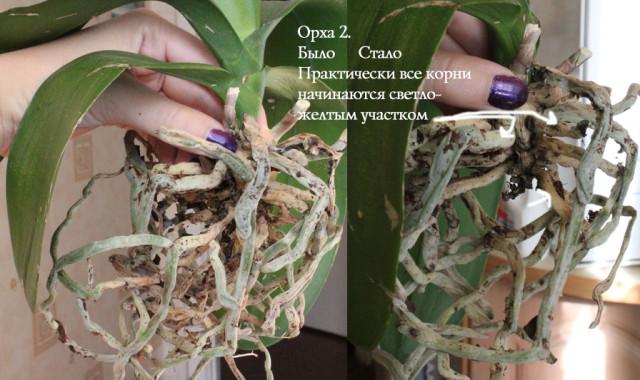 Вянут листья у цветущей орхидеи что делать