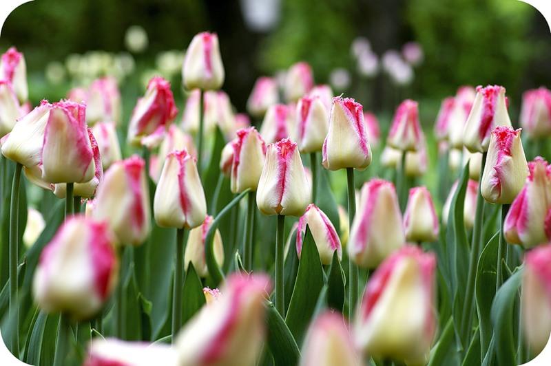 Бело-розовые