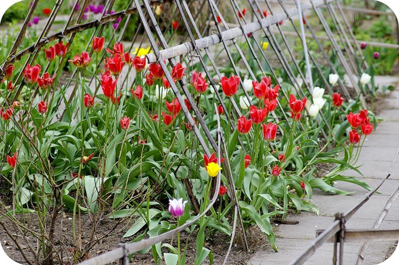 Клетка для тюльпанов