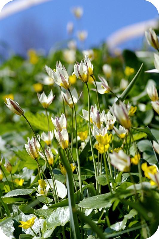 Мини-тюльпаны