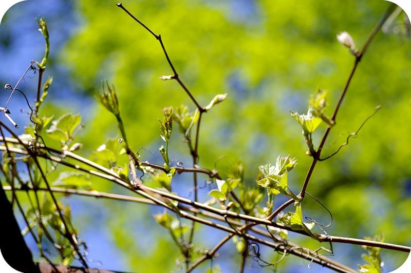 Виноградная весна
