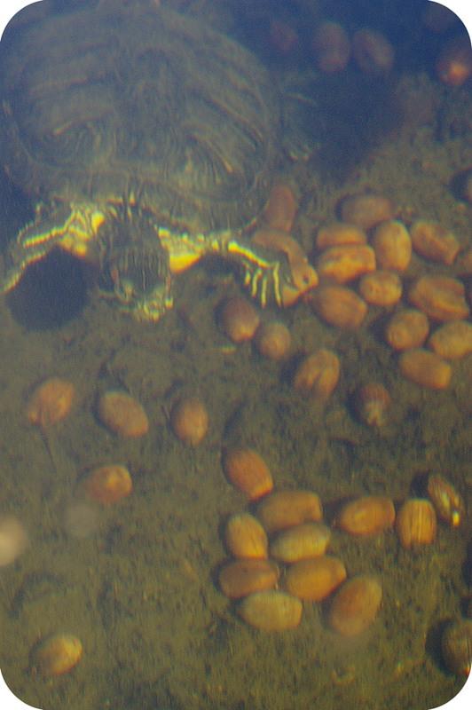 Черепаха и жёлуди