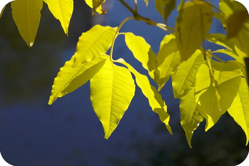 Лимонные листья