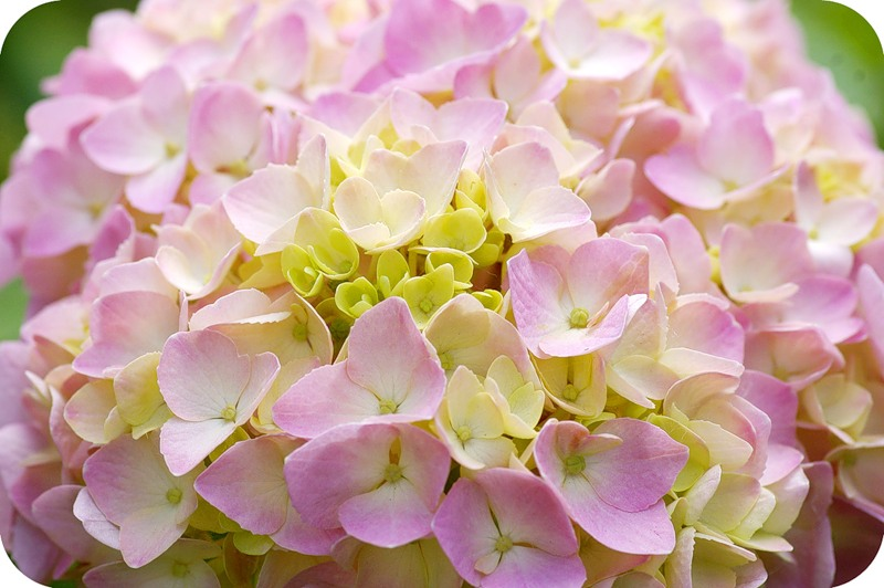 Розовая скорлупа
