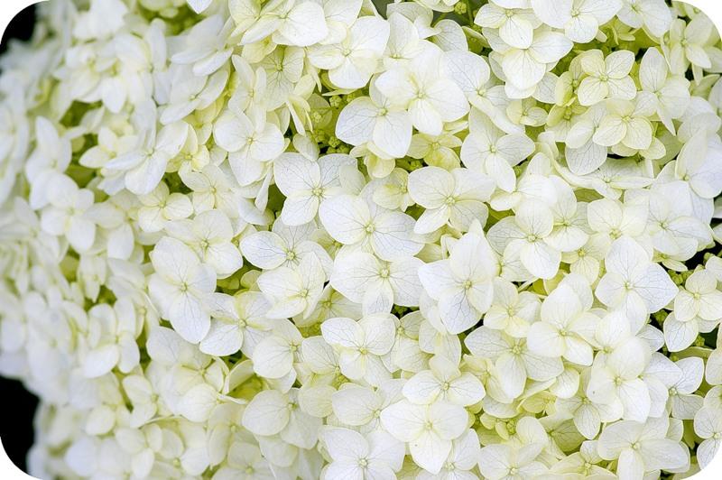 Цветы, которые можно гладить