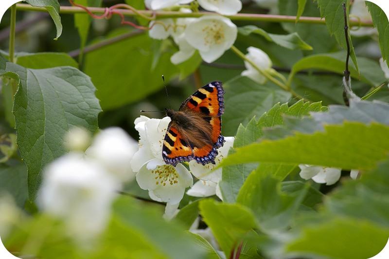 Бабочка на жасмине