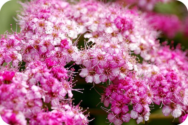 Лохматые цветы