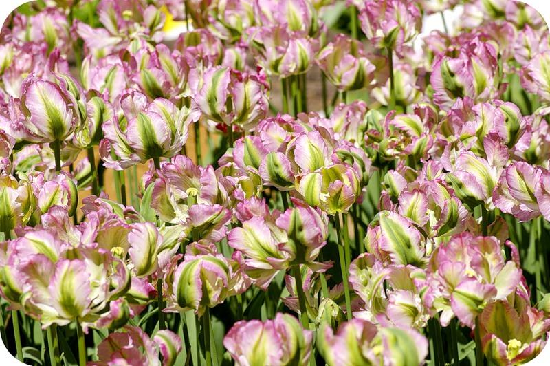 Чокнутые тюльпаны