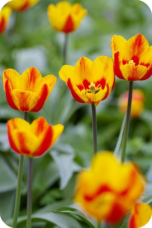 Ещё тюльпаны