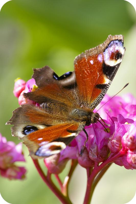 Бабочка и хобот