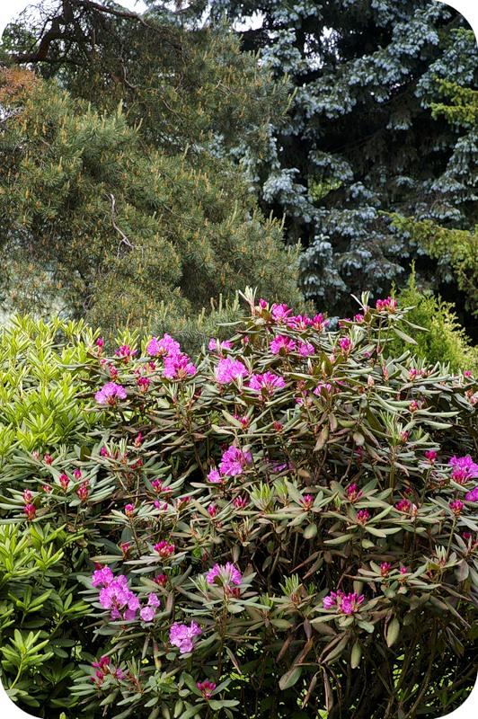 Рододендроны в Ботаническом
