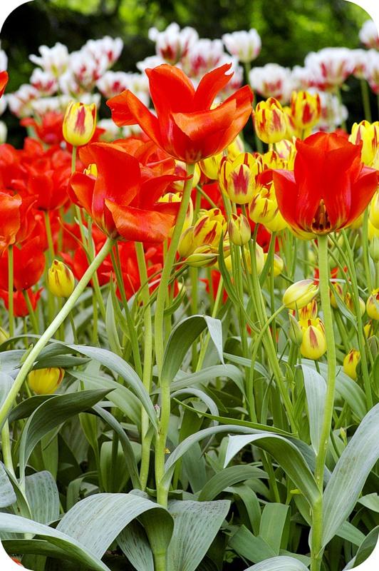 Тюльпаны-маки