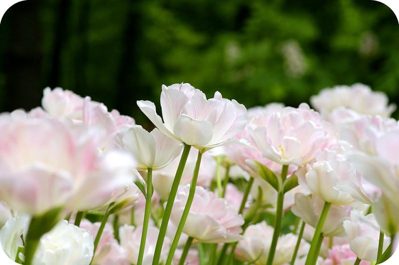 Взлетающие тюльпаны