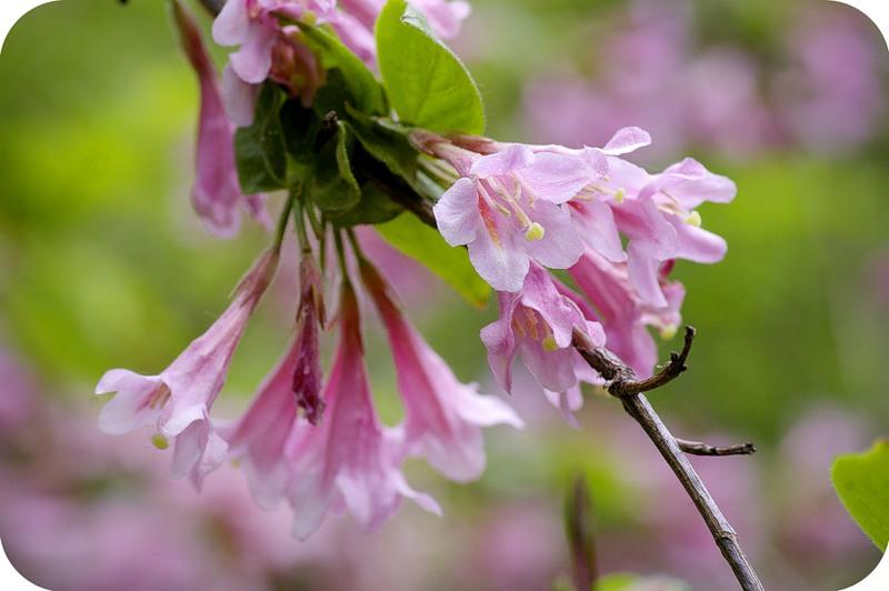 Вейгела цветущая