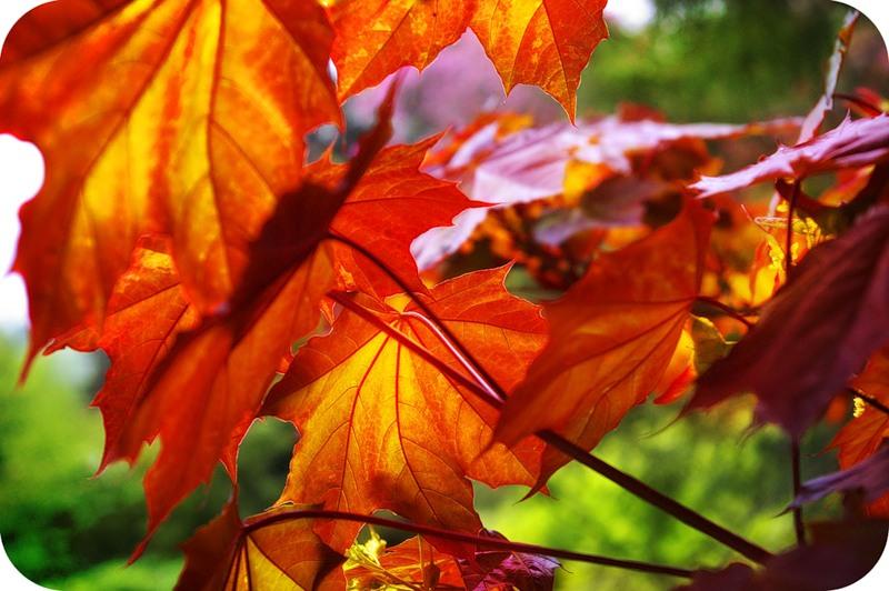 Осенне-весенние клёны