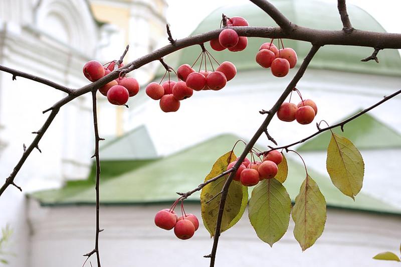 Китайские яблочки