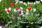 Нарциссы в тюльпанах