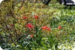 Тюльпаны в спиреях