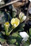 Жёлтые микрокрокусы
