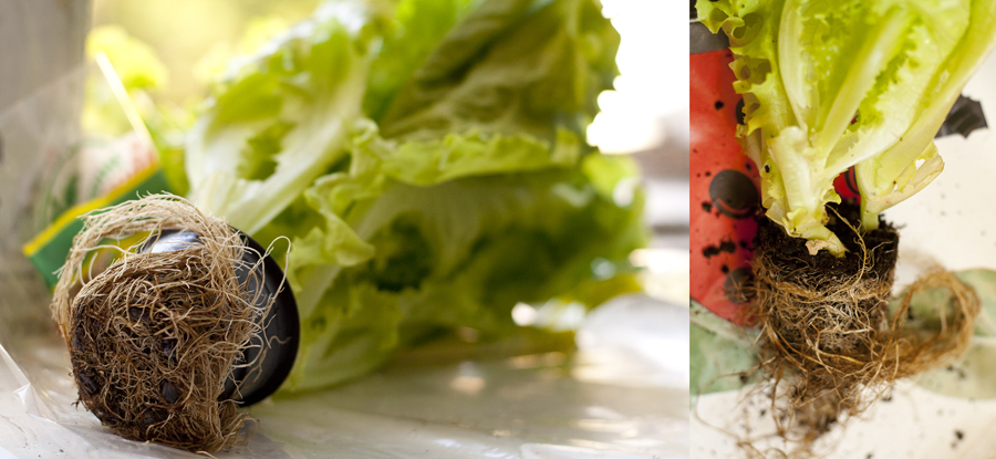 Вырастить листья салата в домашних условиях