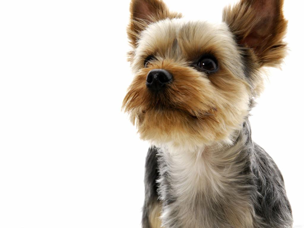 Йоркширский терьер умер щенок