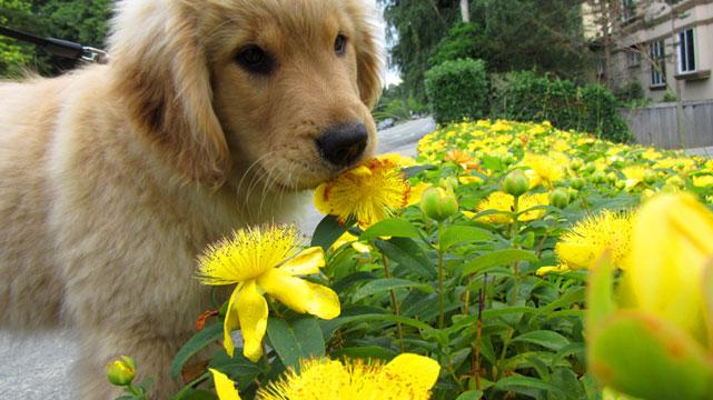 photo-sniff-seattle-dog-walkers-best-kirkland-dog-walking-98033-golden-retriever-puppy-tala