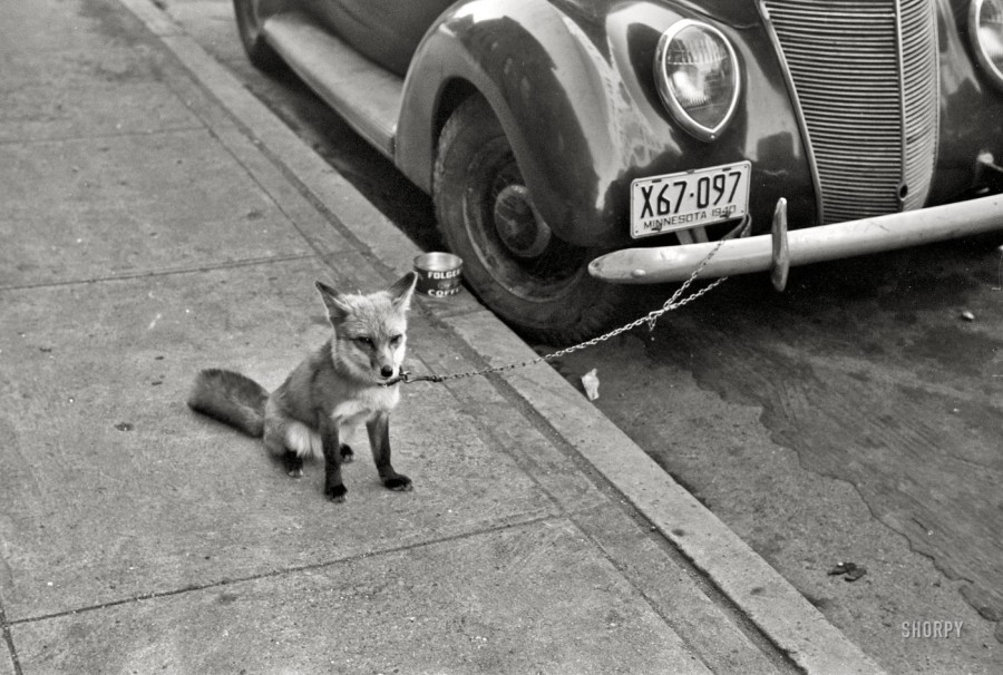 October 1940. Moorhead, Minnesota.  Fox chained to automobile