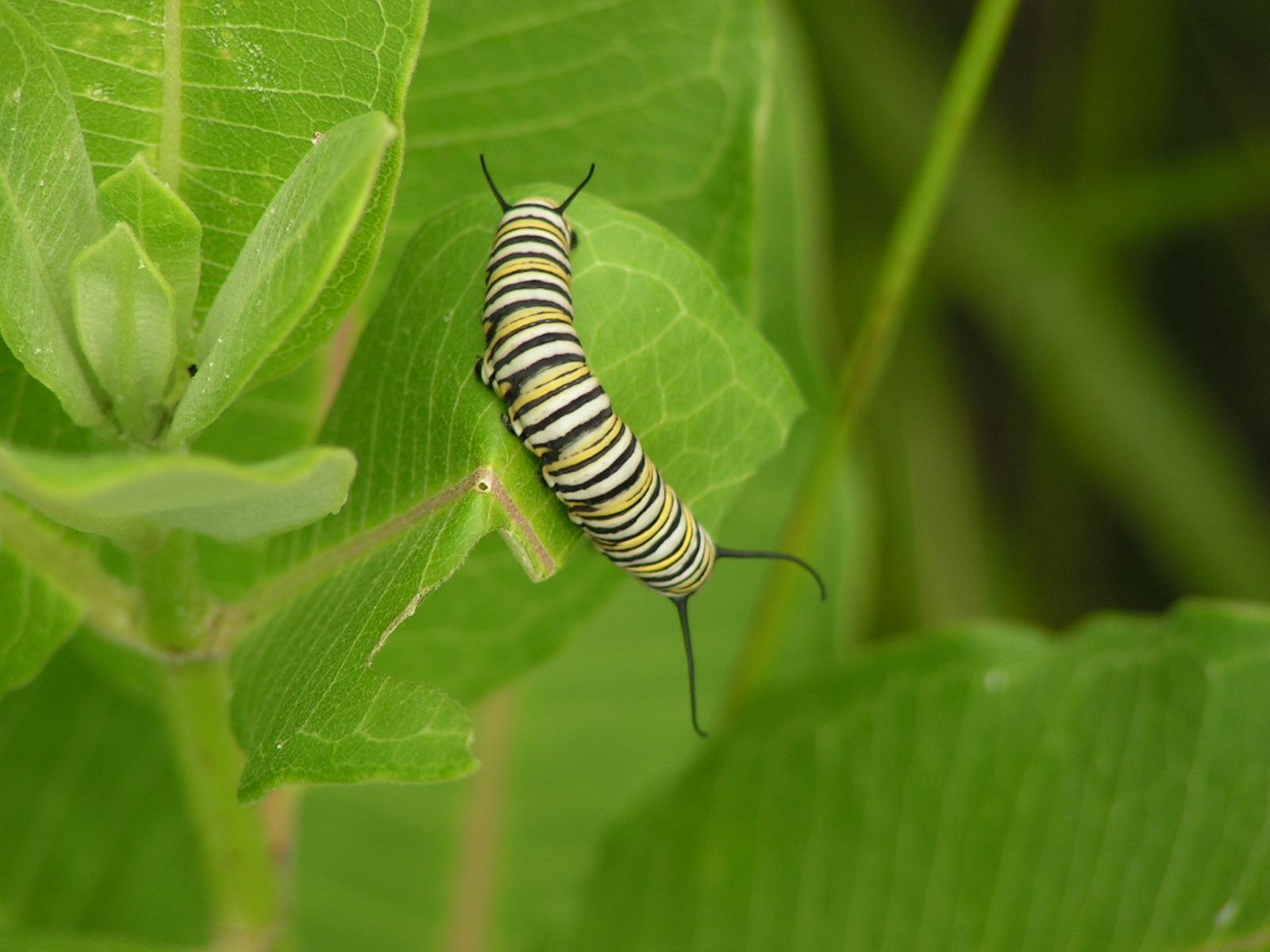 Sessle the caterpillar : Ysabetwordsmith fieldhaven fruit flower report