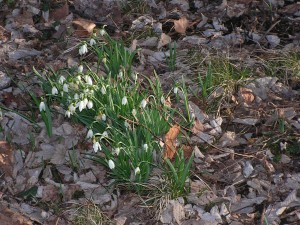 Several patches of volunteer snowbells are rambling around the savanna.