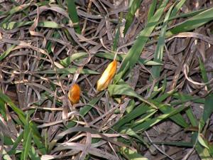 This yellow crocus is budding in the wagonwheel garden.