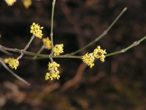The cornelian cherry dogwood is in the forest yard.