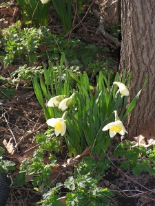 These white daffodils are blooming in the forest garden.