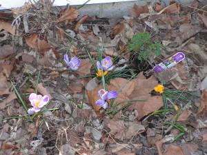 Mixed crocus are blooming in the rain garden.
