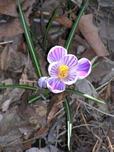 This is a closeup of one crocus in the rain garden.