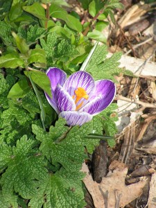 This crocus is blooming in the purple-and-white garden.