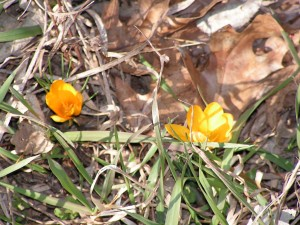These yellow crocus are blooming in the wagonwheel garden.