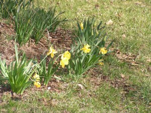 The daffodils under the maple tree are in full bloom too.