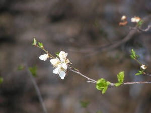 If I remember correctly, this is a plum tree, blooming in the orchard.