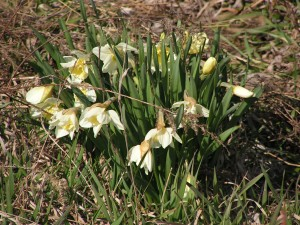 The daffodils in the prairie garden are starting to bloom.