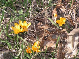 The yellow crocus in the wagonwheel garden are in full bloom.