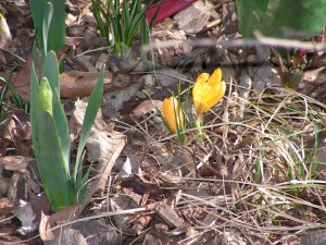 These yellow crocus are blooming along the driveway.