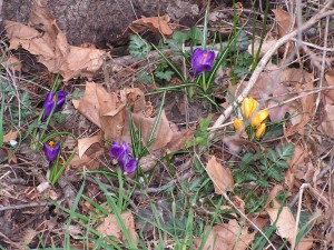 These crocus flowers are blooming under the walnut tree.