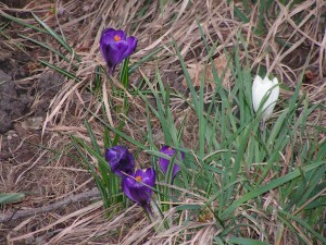 Some crocus flowers are blooming under the maple tree.
