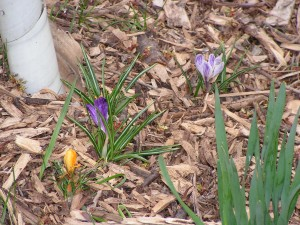 Several crocuses are growing under the contorta willow tree.