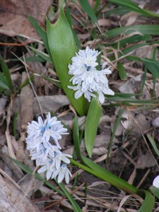 Pale blue scillas are blooming in the wildflower garden.