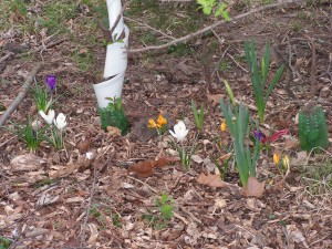 More crocuses are blooming alongside the driveway.