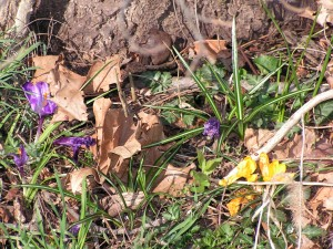 These crocuses are blooming under the black walnut tree.