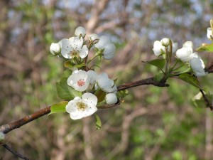 Here is a closeup of the pear blossoms.
